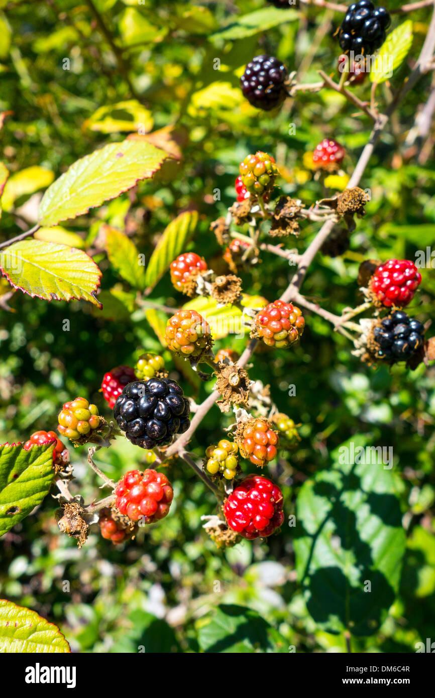 Rote und schwarze Blackberry Früchte, Herbstfärbung, Farben ...