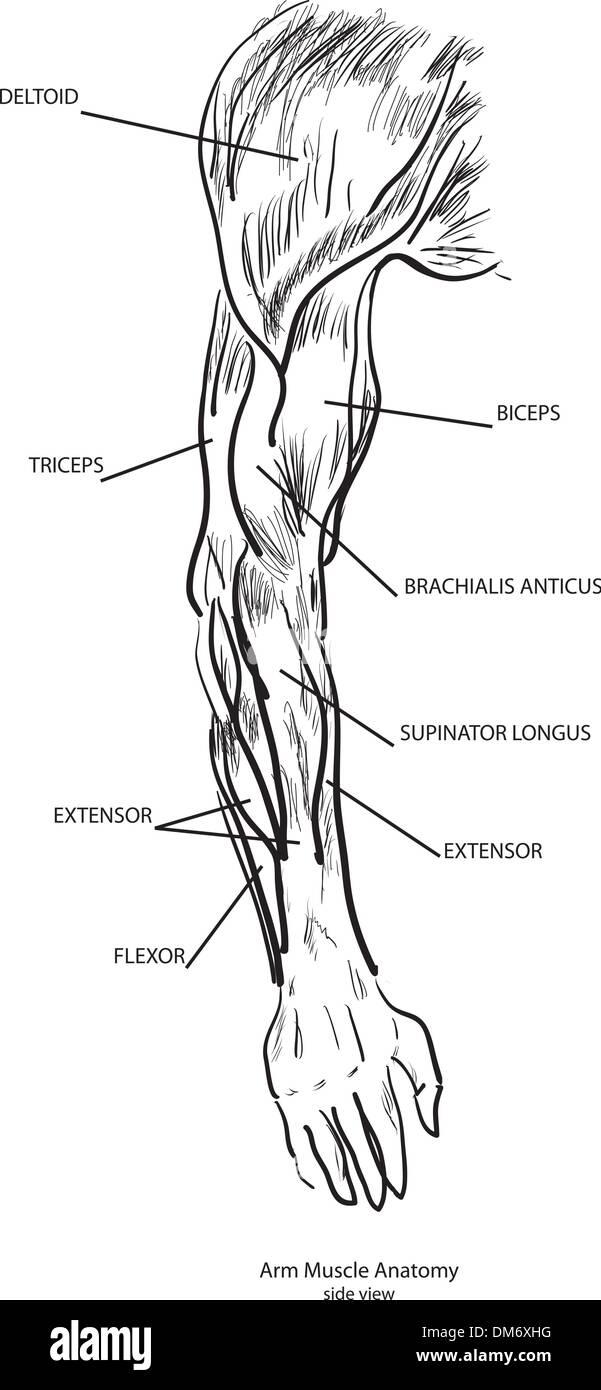 Arm Muscle Stockfotos & Arm Muscle Bilder - Alamy