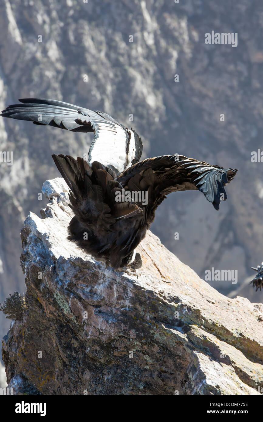 Condor Im Colca Canyon Sitzen Peru Südamerika Dies Ist Ein Kondor