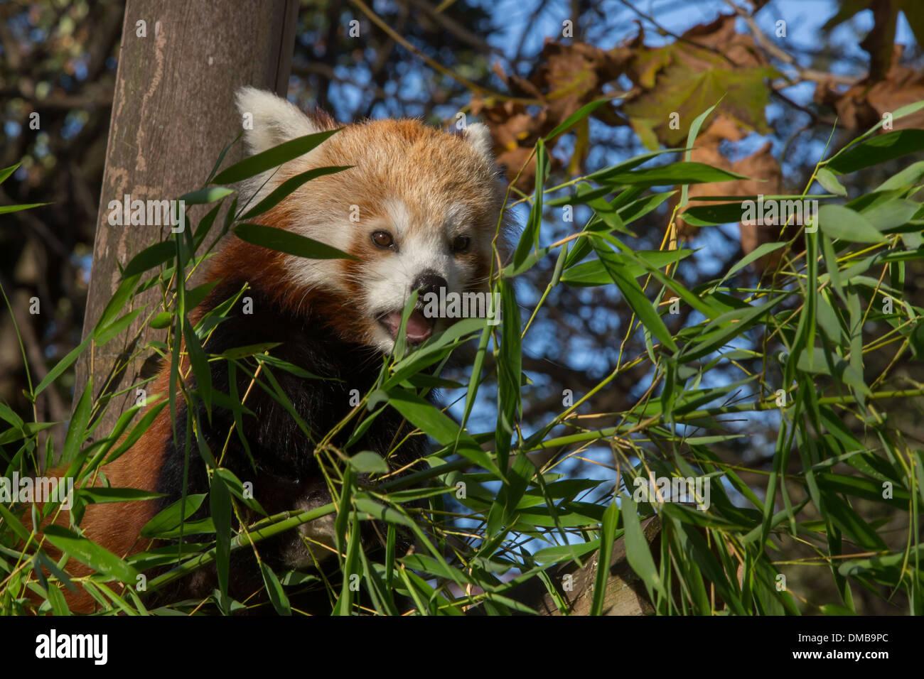 Roter Panda Menagerie Im Jardin Des Plantes 5 Arrondissement