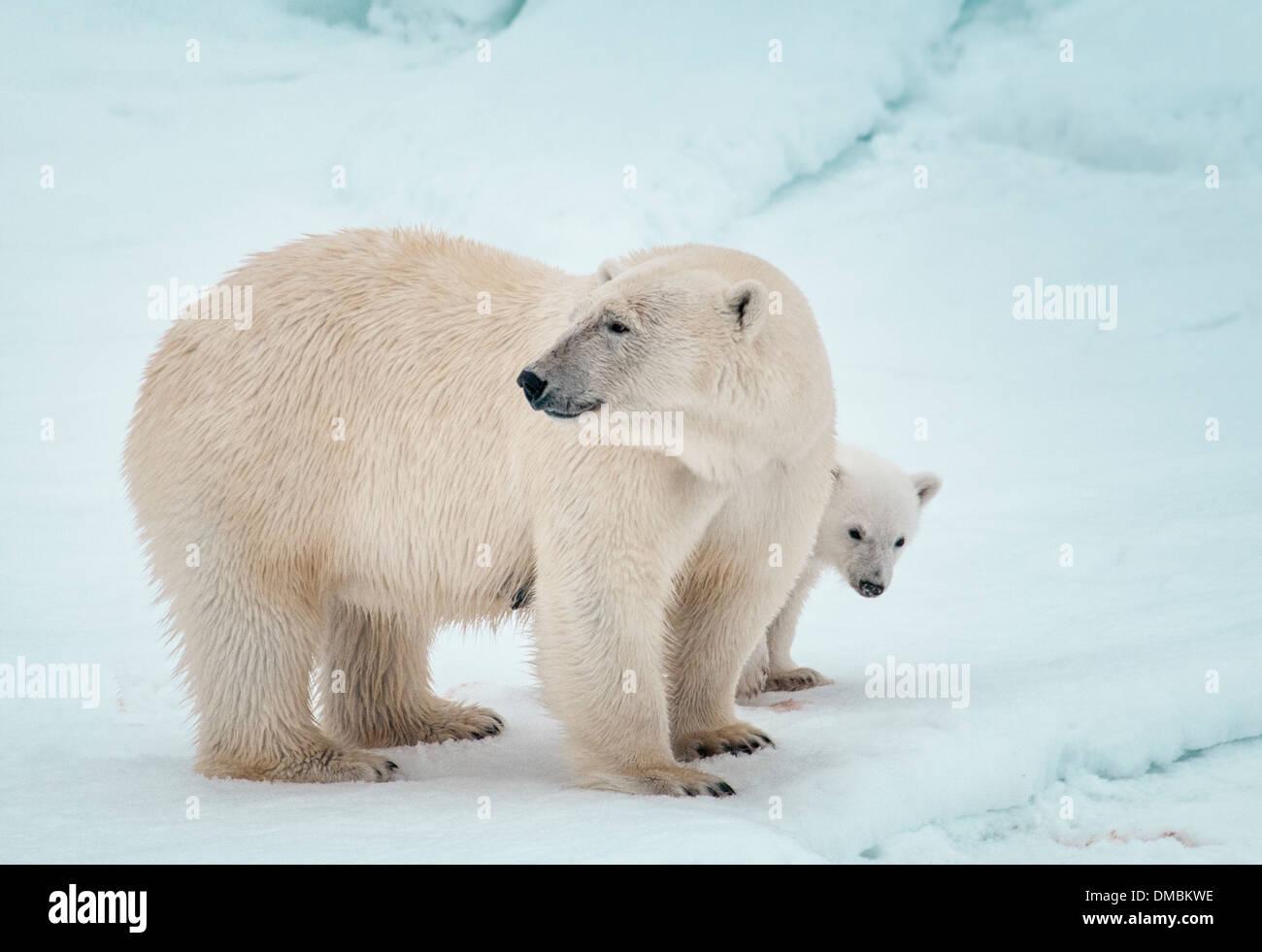 Eisbär-Mutter mit Jungtier versteckt sich hinter ihr, Ursus Maritimus, Olgastretet Packeis, Spitzbergen, Svalbard-Archipel, Norwegen Stockbild