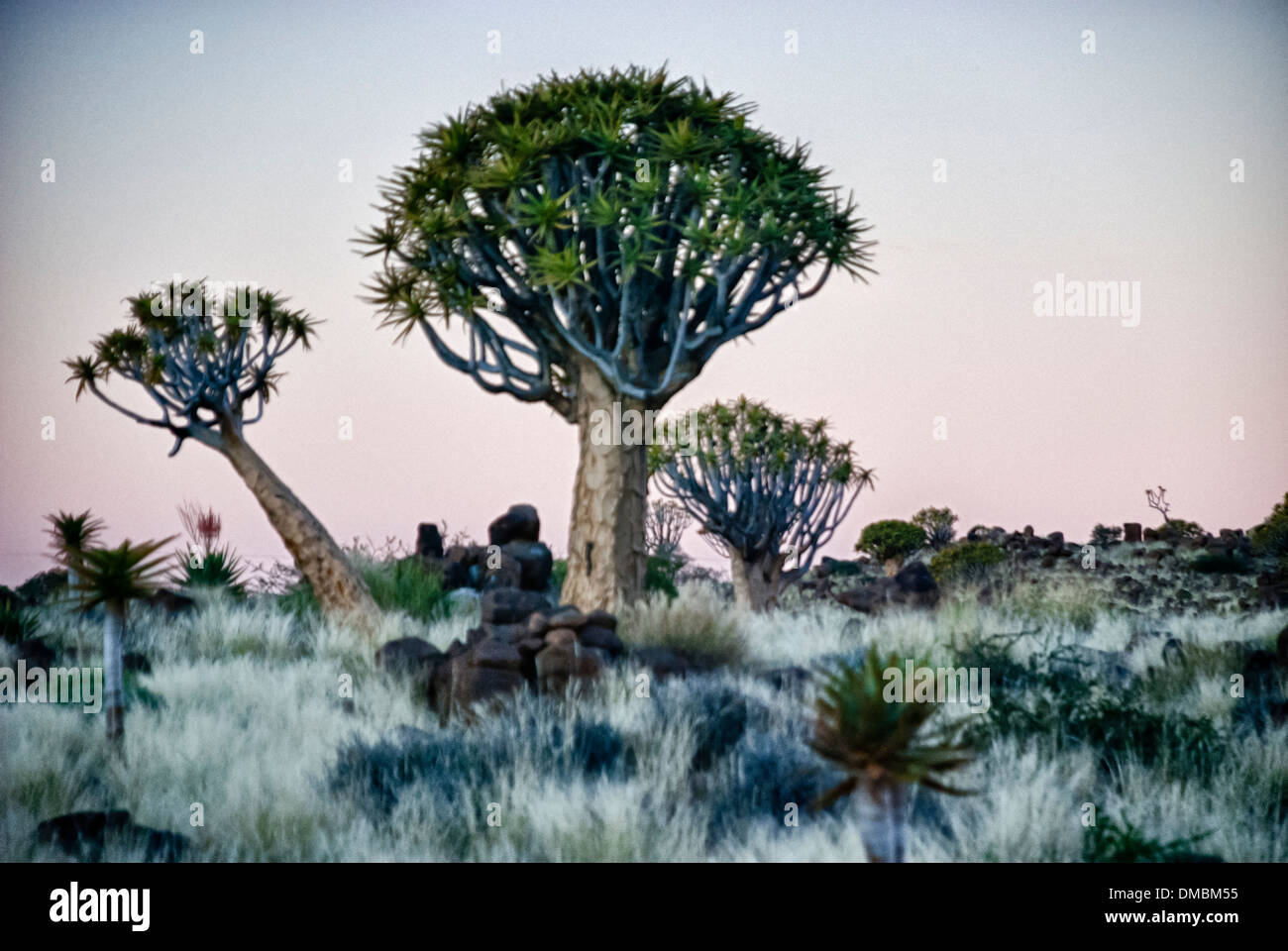 Zittern Sie Bäume, Kokerboom, Aloe Dichotoma, zucken Sie Baum Wald, Farm Gariganus Keetmannshoop, Namibia, Stockbild