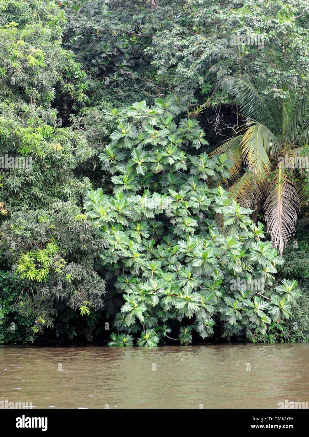 Ein Brotfruchtbaum (Artocarpus Altilis) wächst am Rande eines Flusses im Tortuguero Nationalpark. Stockbild