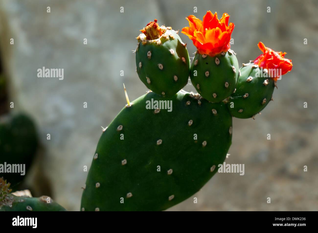Opuntia Quintensis Stockbild