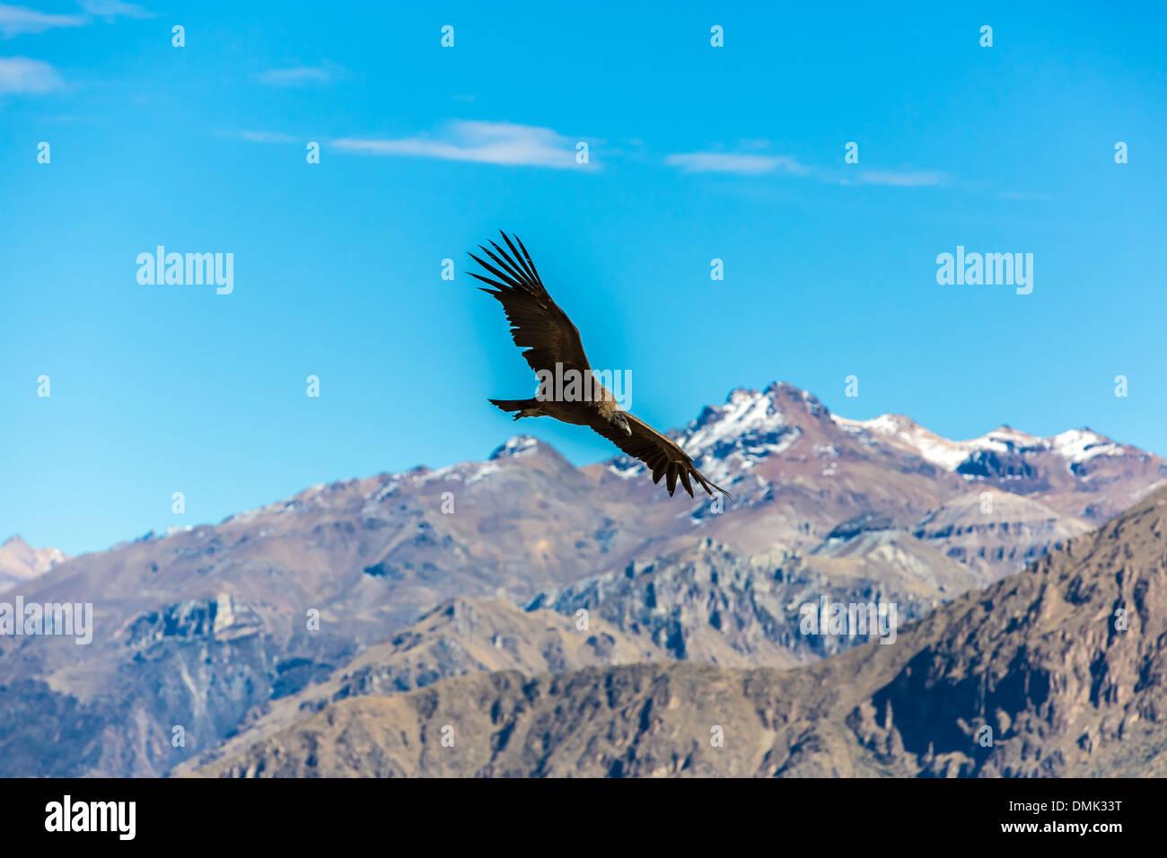 Größter Fliegender Vogel Stockfotos Größter Fliegender Vogel