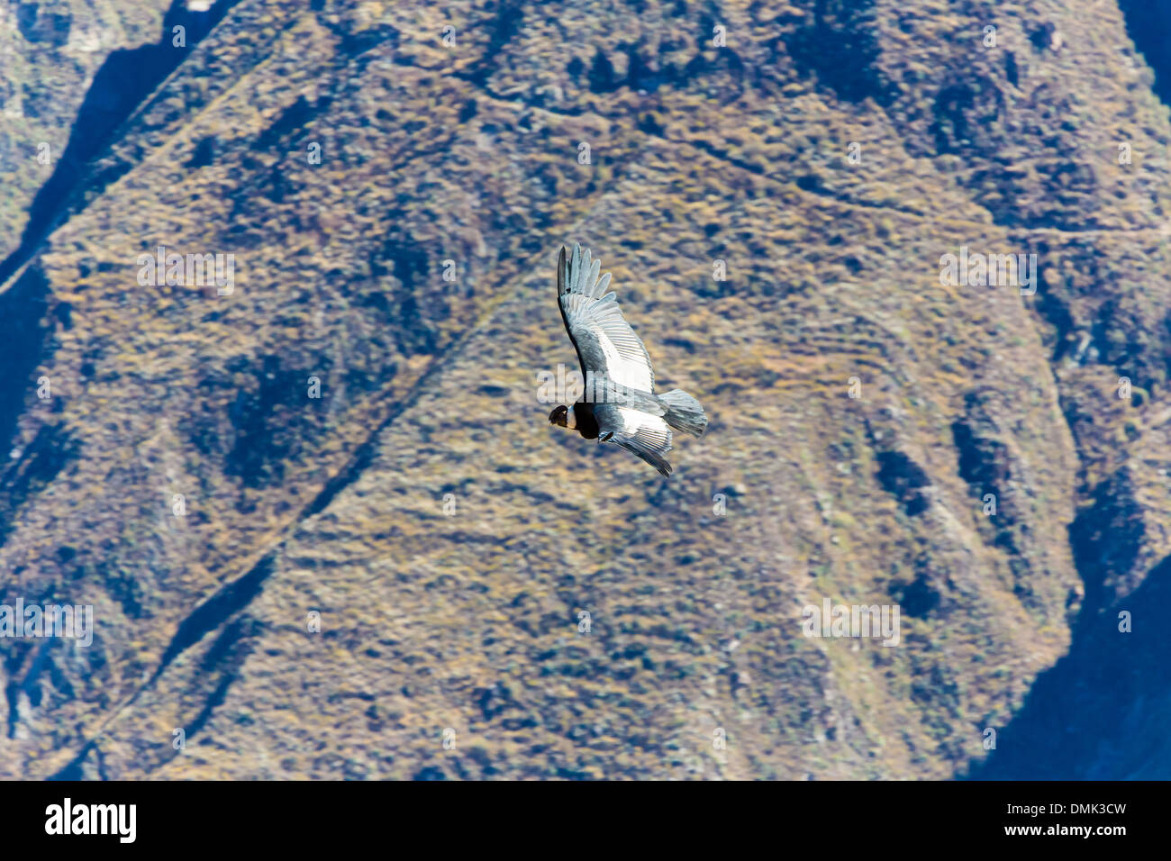 Fliegt Condor über Colca Canyon Peru Südamerika Dies Ist Ein