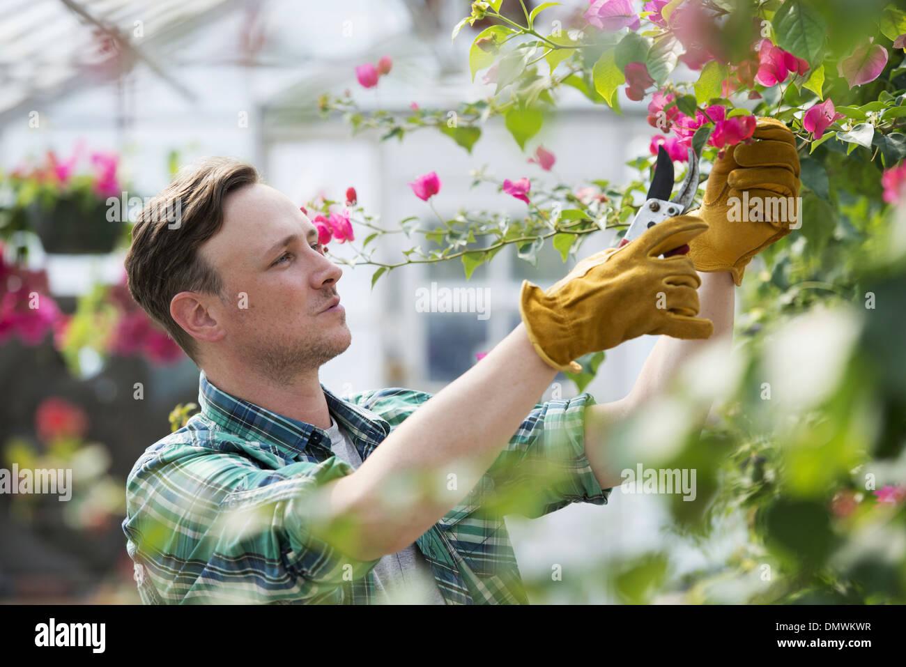 Ein Mann, der arbeitet in einem organischen Gärtnerei Gewächshaus. Stockfoto