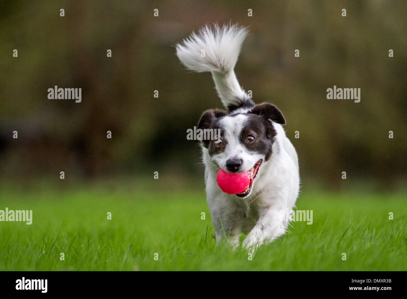 Glücklich verspielte Jack Russell Terrier Hund läuft außerhalb auf Rasen im Garten mit Ball im Mund Stockbild