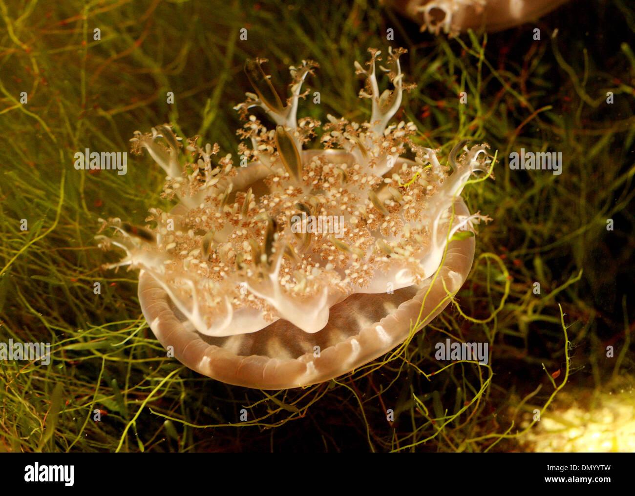 Upside Down Jellyfish, Cassiopea Ornata, Rhizostomeae, Cassiopeidae, Abstammungsverhältnisse Hautverletzungen. Philippinen, Asien. Stockfoto