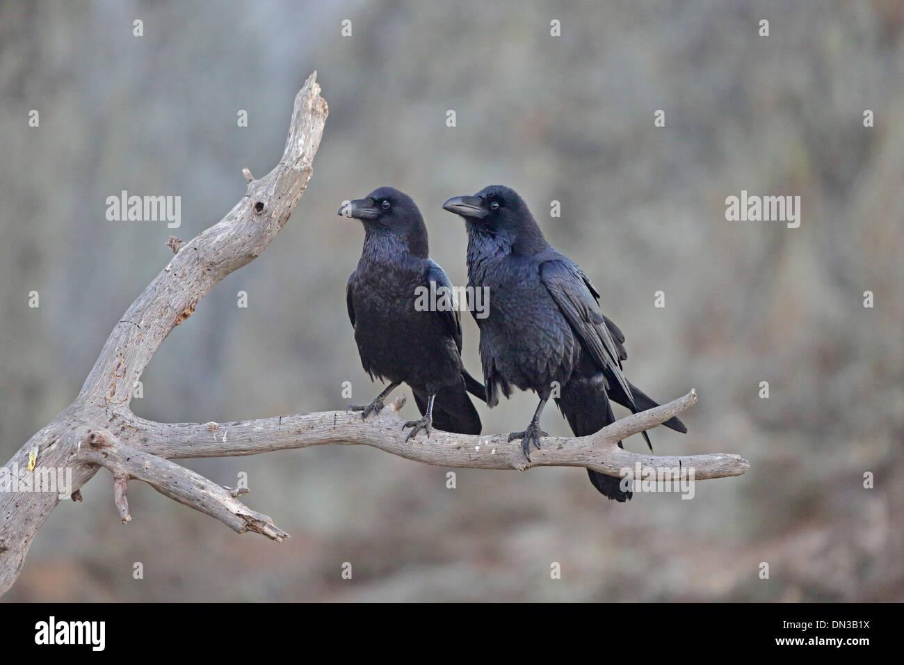 Paar der gemeinsamen Ravens thront auf einem Ast Stockbild
