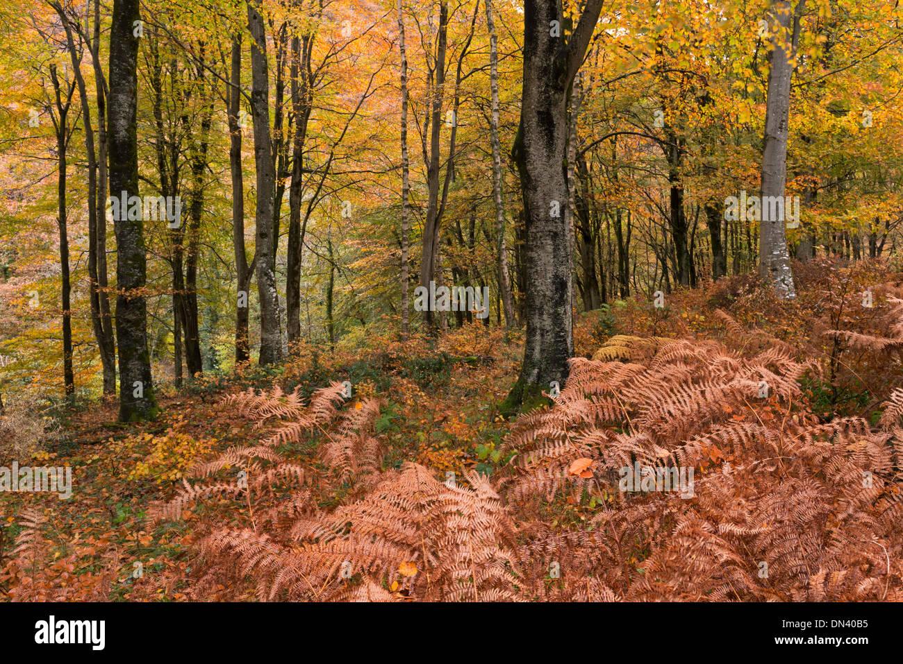 Laubwald im Herbst, Exmoor, Devon, England. November 2013. Stockbild