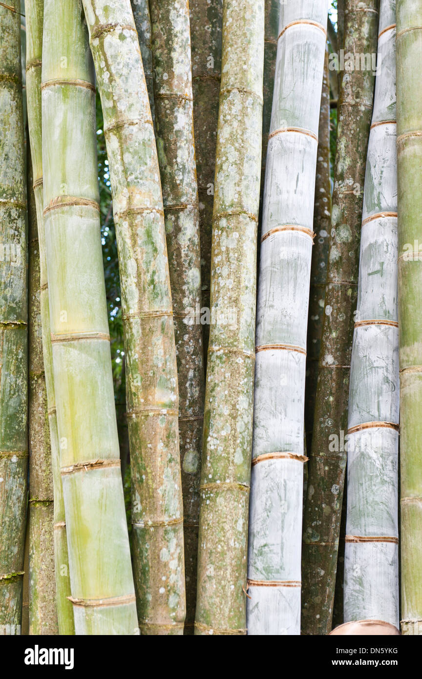 Bambus Dicke Stiele Und Blatter Nahampoana Reserve Naturpark