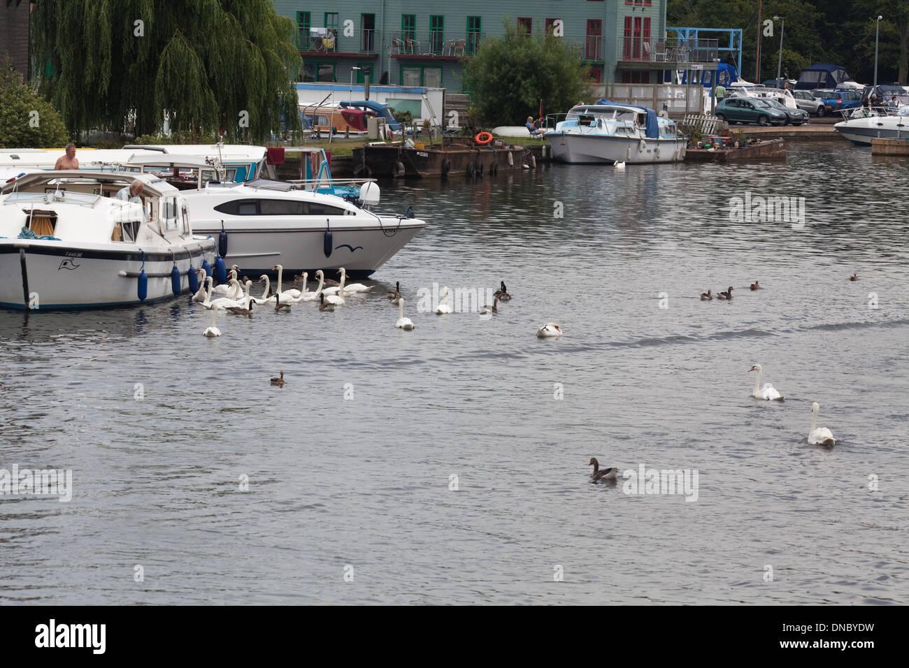 """Höckerschwäne (Cygnus Olor). Keine Zucht, ungepaarte Vögel, """"schlendern"""" rund um Urlaub Bootfahren, River Bure. Wroxham, Norfolk. Stockbild"""