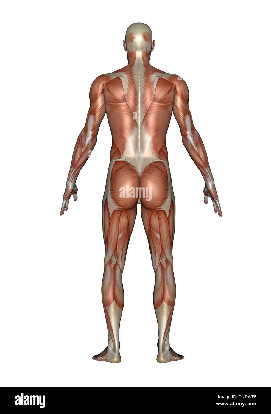 Ungewöhnlich Körpermuskulatur Diagramm Ideen - Menschliche Anatomie ...