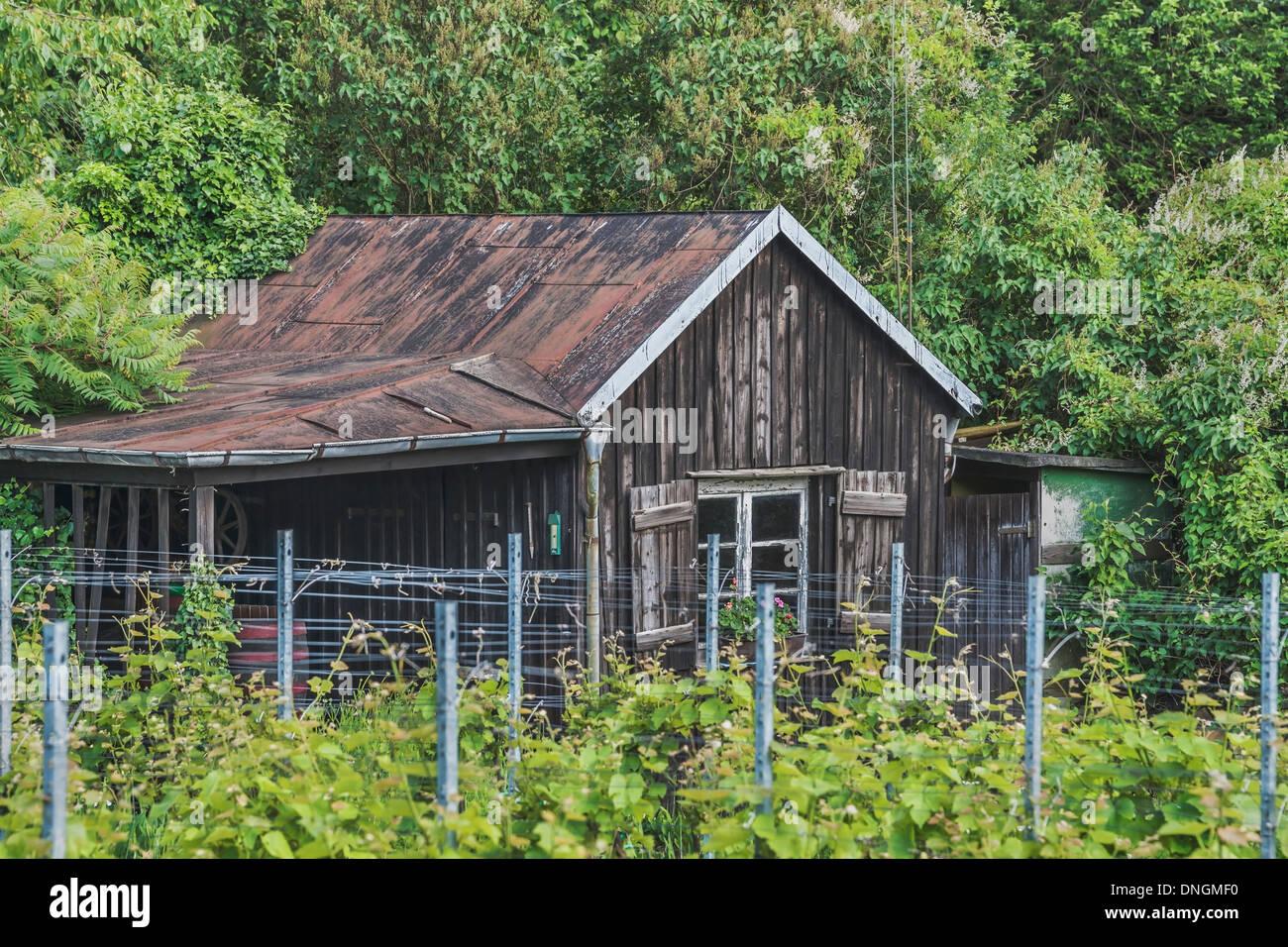 Rebe an eine alte Holzhütte, Sachsen, Deutschland, Europa Stockbild