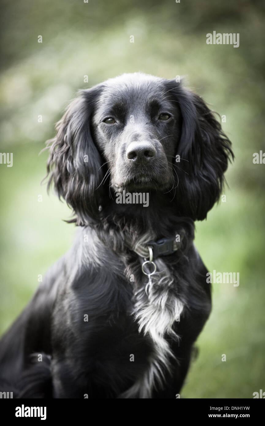 Working Cocker Spaniel Hund Stockfotografie Alamy