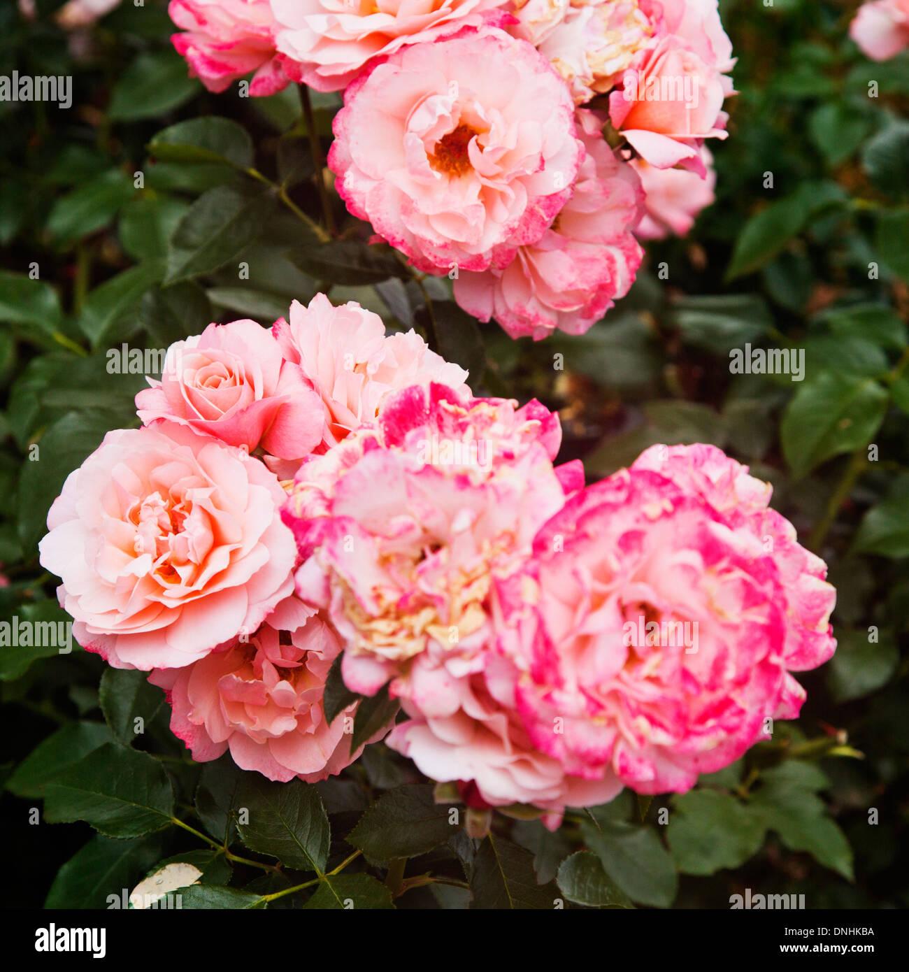 Nahaufnahme von Rose Blumen, Villa Cimbrone, Ravello, Provinz Salerno, Kampanien, Italien Stockfoto