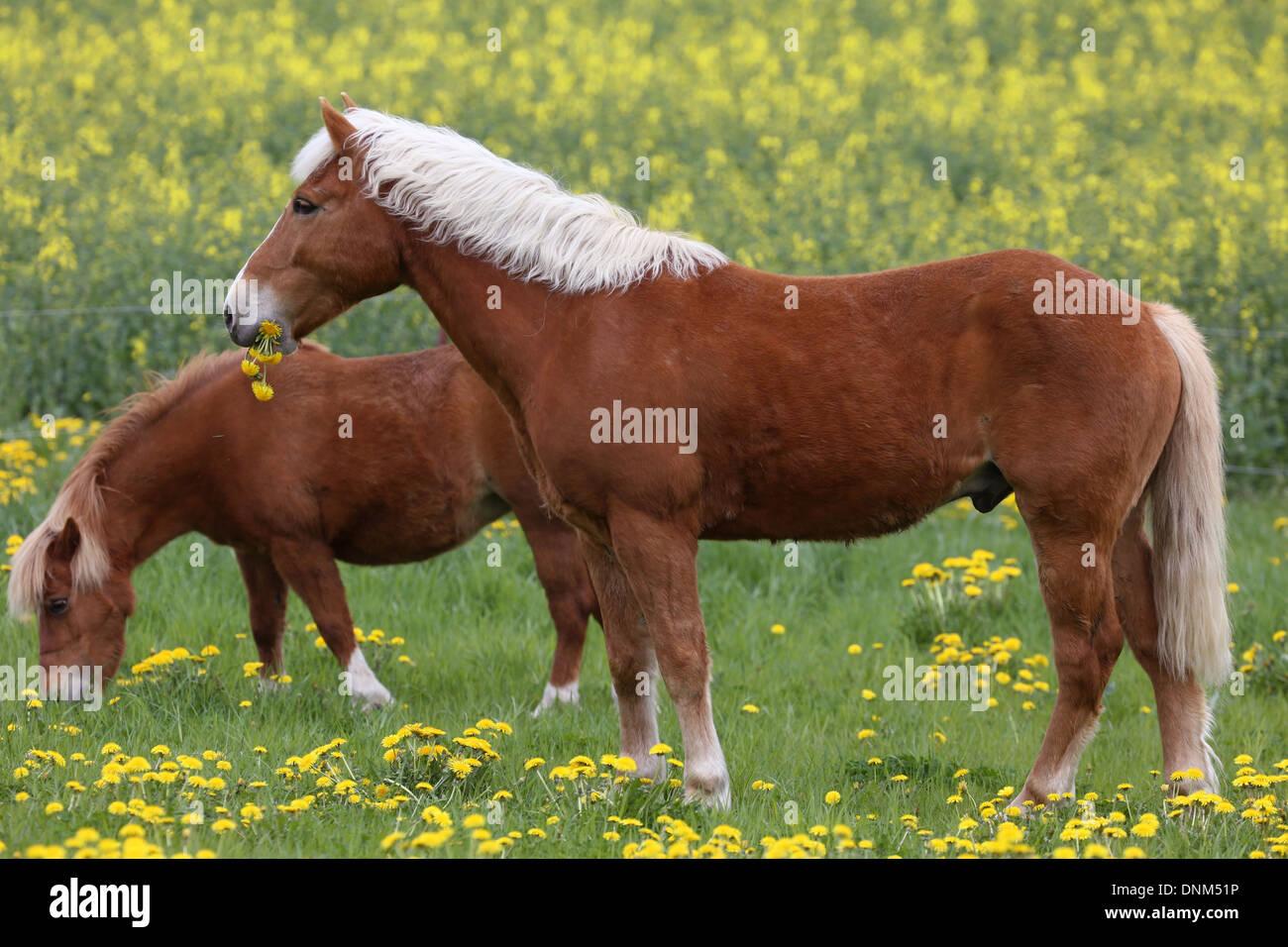 Prangender Dorf, Deutschland und Shetland Pony Haflinger Essen Loewenzahn Stockbild