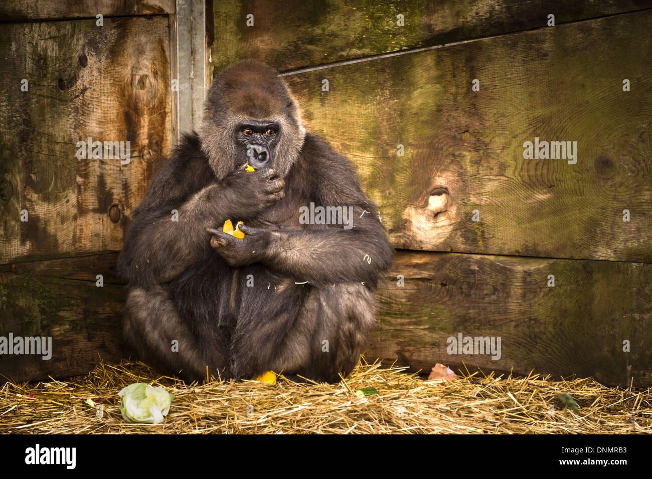 Ein Gefangener weiblichen Gorilla im Zoo von Bristol in England. Stockbild