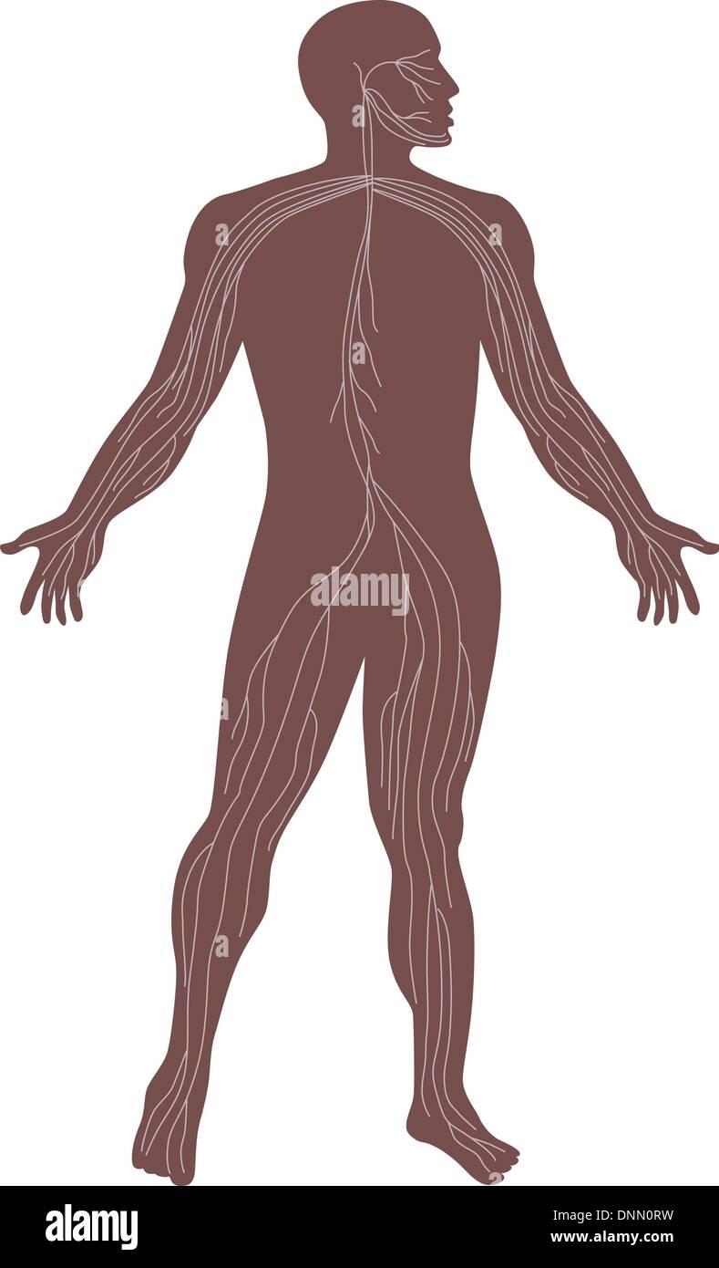 Abbildung der menschlichen Anatomie zeigt das Nervensystem eines ...
