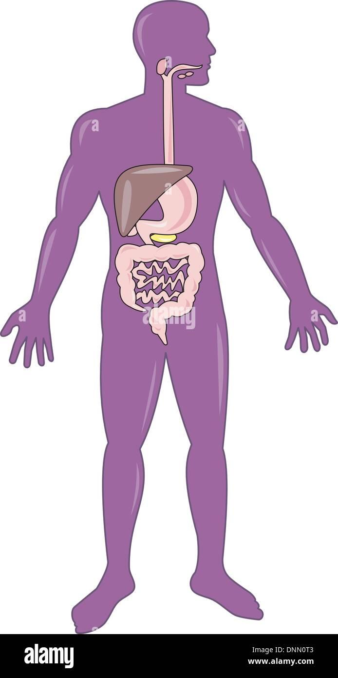 Abbildung auf die Anatomie des Menschen zeigt eine männliche stehend ...