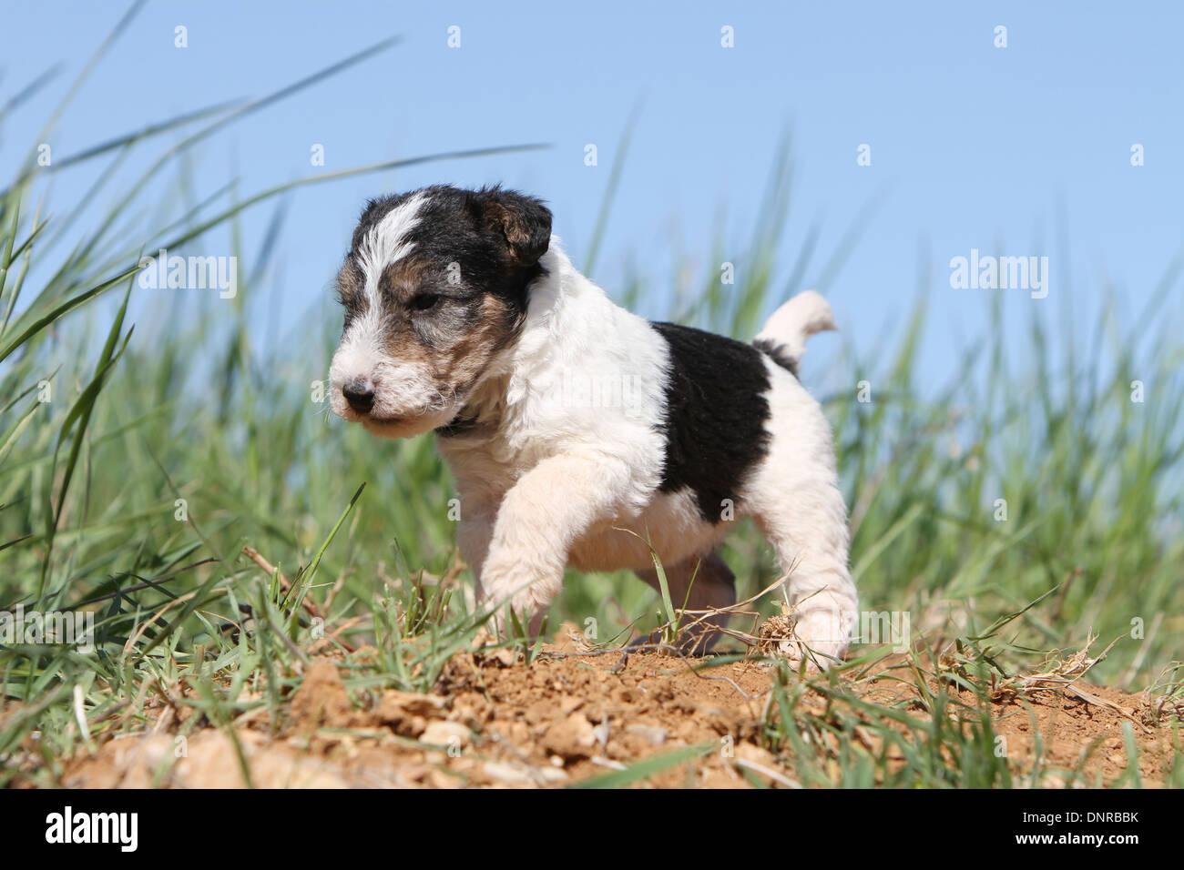 Fox Terrier Wirehaired Stockfotos & Fox Terrier Wirehaired Bilder ...