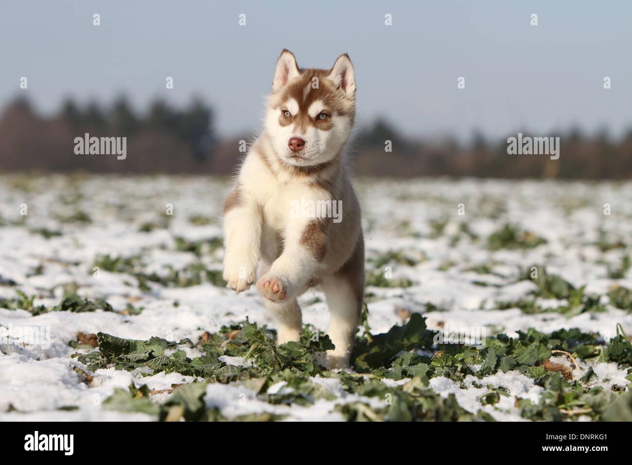 Großzügig Siberian Husky Ausmalbilder Bilder ...