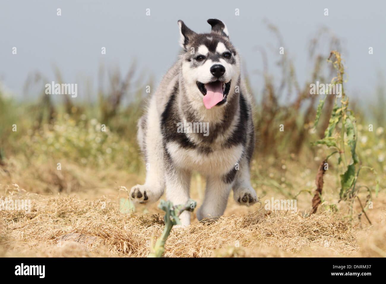 Tolle Siberian Husky Ausmalbilder Bilder - Beispielzusammenfassung ...