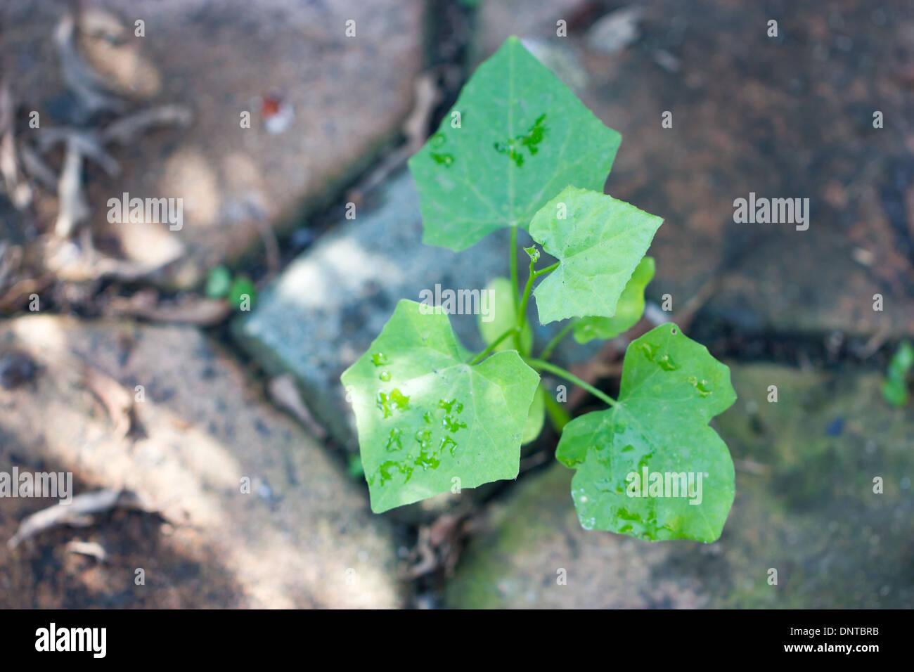 Junge Efeu Kurbis Pflanze Stockfoto Bild 65075007 Alamy