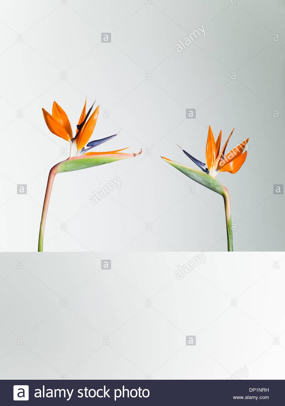 Zwei Paradiesvogel Blumen von Angesicht zu Angesicht Stockbild