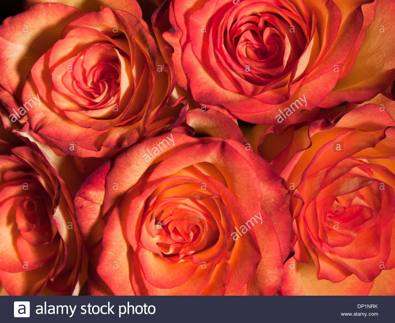 Nahaufnahme von Rosen Stockbild