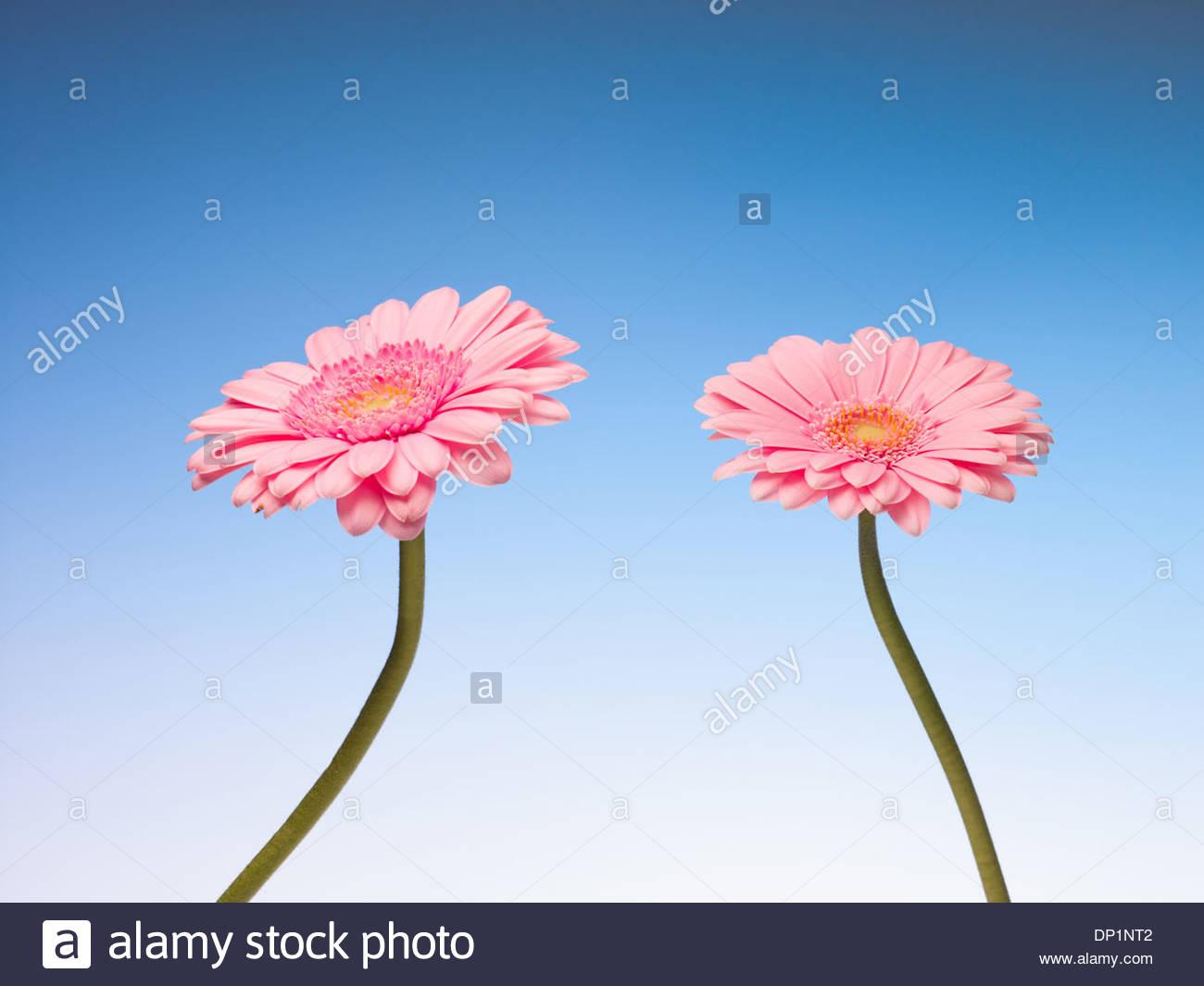 Zwei rosa Gerbera daisies Stockbild
