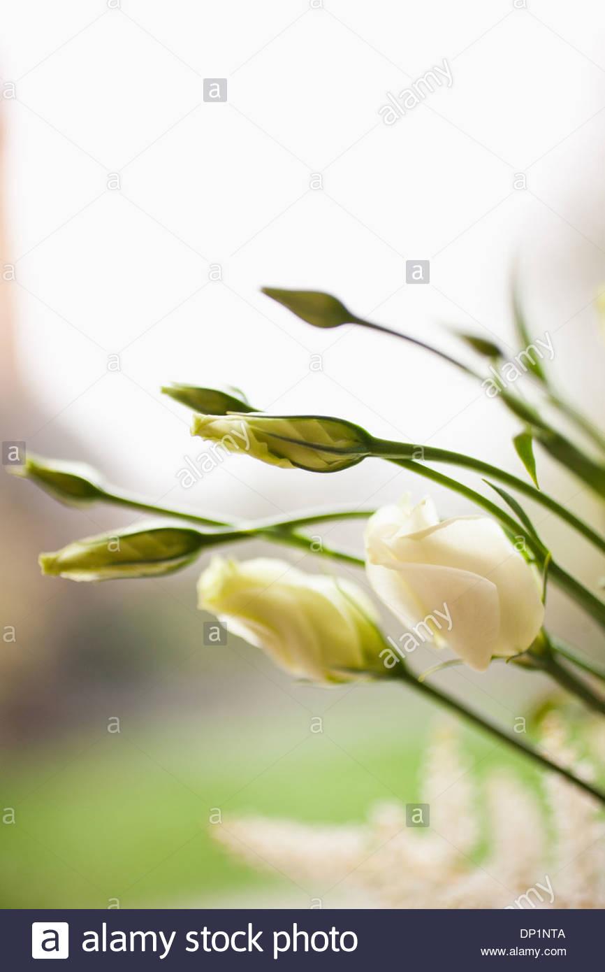 Blumen beginnen zu blühen Stockbild