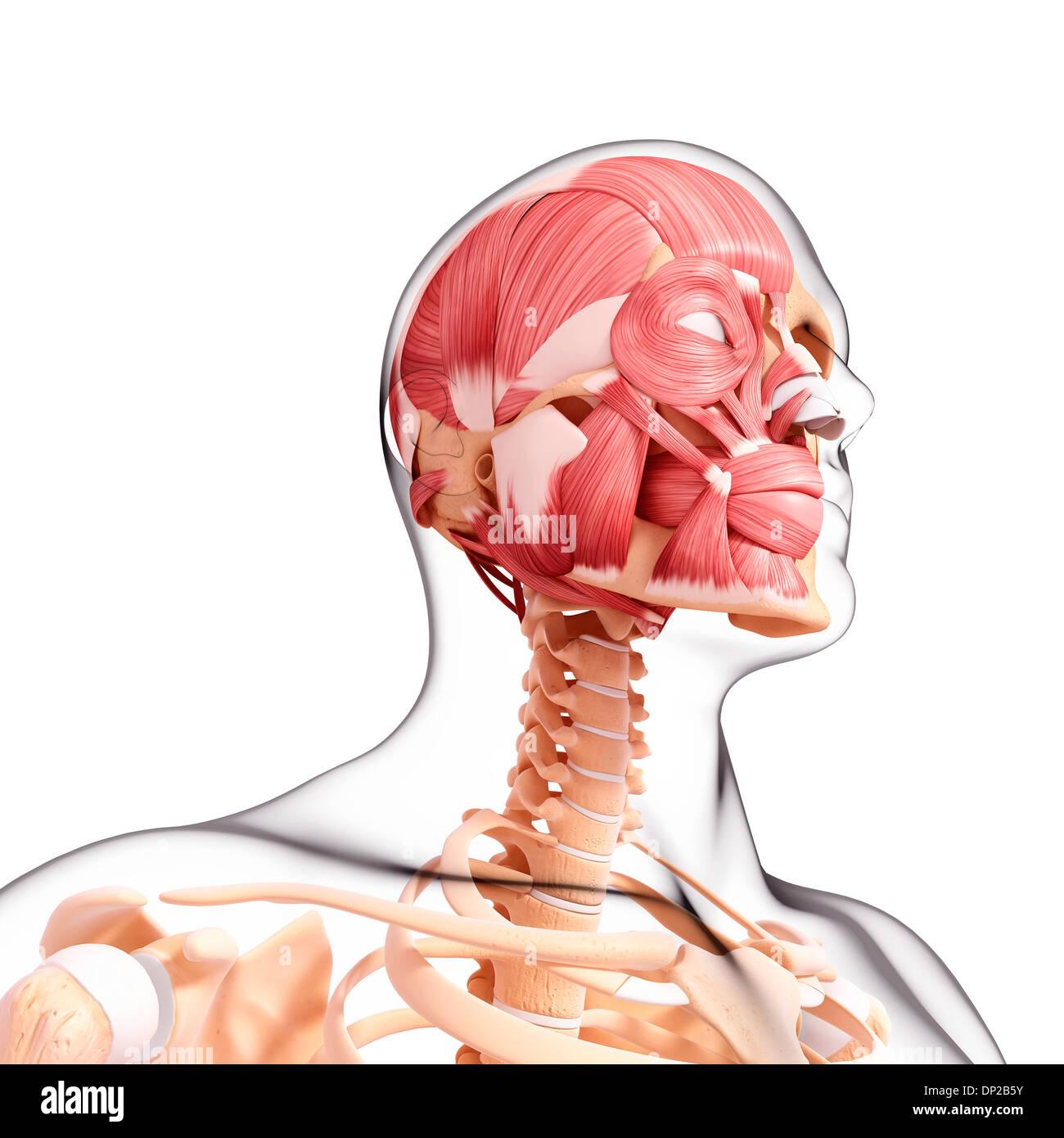 Erfreut Menschlicher Kopf Muskeln Bilder - Menschliche Anatomie ...