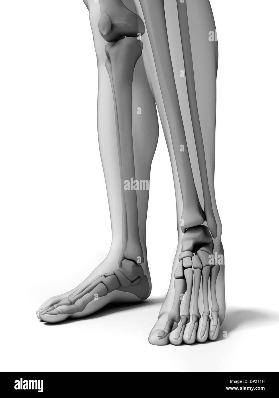 Knochen der Unterschenkel und Füße, artwork Stockfoto, Bild ...