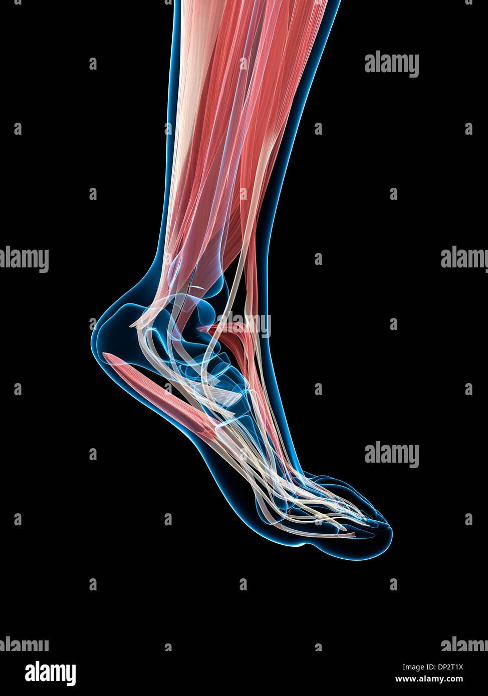Tolle Fußanatomie Muskel Ideen - Anatomie Von Menschlichen ...