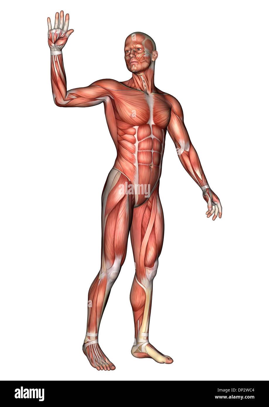 Fein Männliche Muskeln Zeitgenössisch - Anatomie Ideen - finotti.info