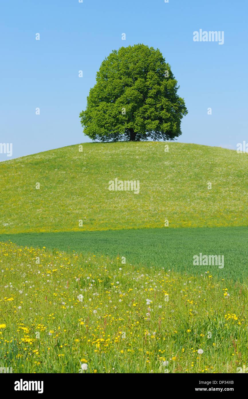 Linde auf Hügel in Wiese, Kanton Bern, Schweiz Stockfoto