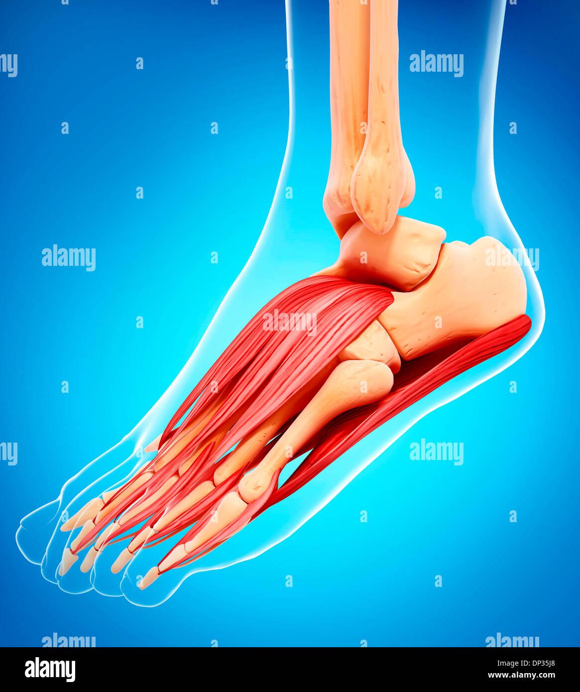Menschlicher Fuß-Muskulatur, artwork Stockfoto, Bild: 65223824 - Alamy