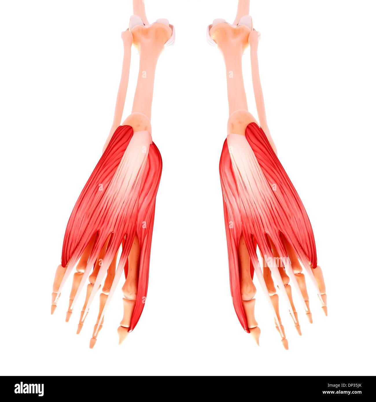 Ungewöhnlich Muskeln Im Fuß Fotos - Menschliche Anatomie Bilder ...