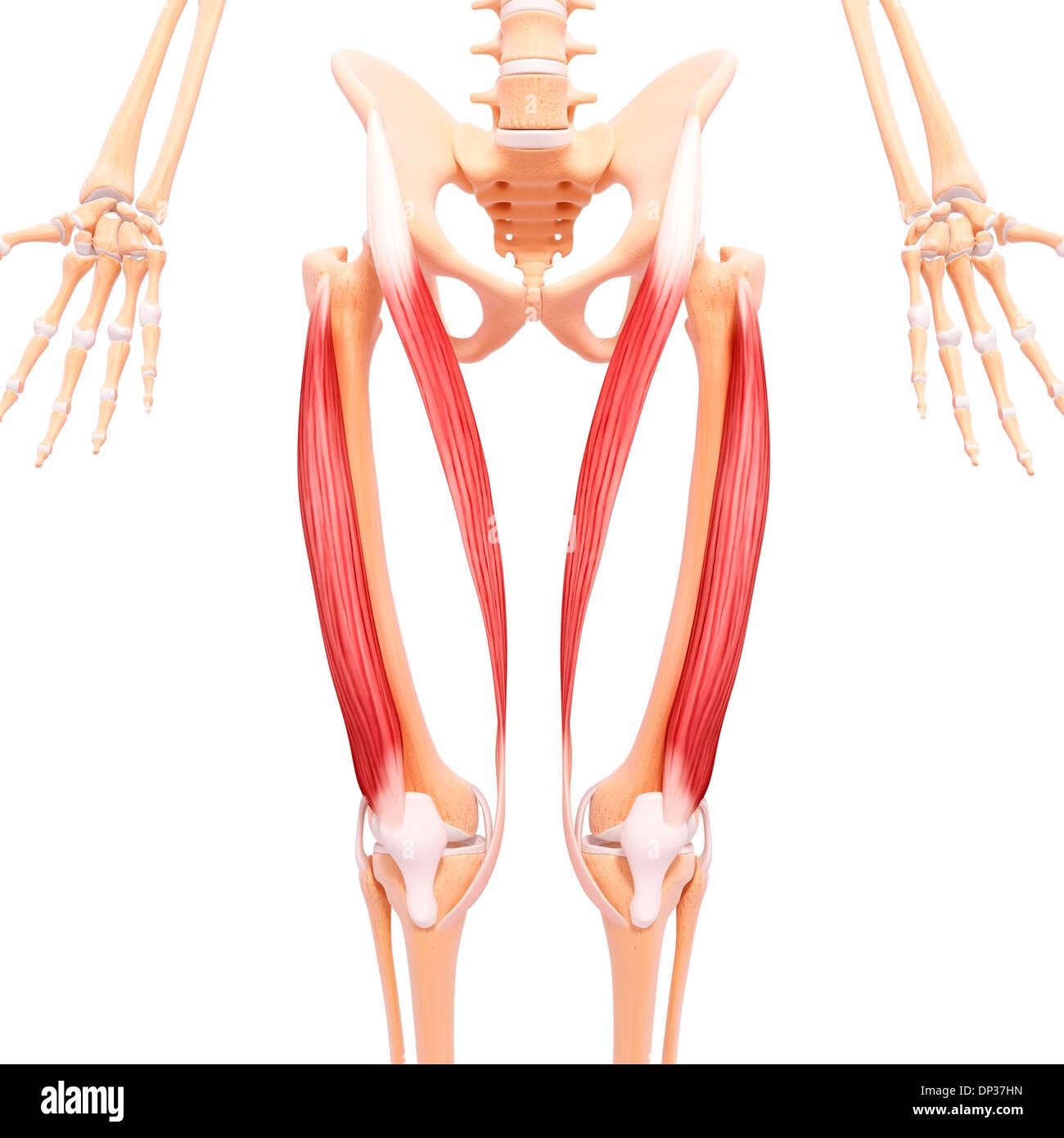 Erfreut Anatomie Hüfte Und Beinmuskeln Bilder - Menschliche Anatomie ...