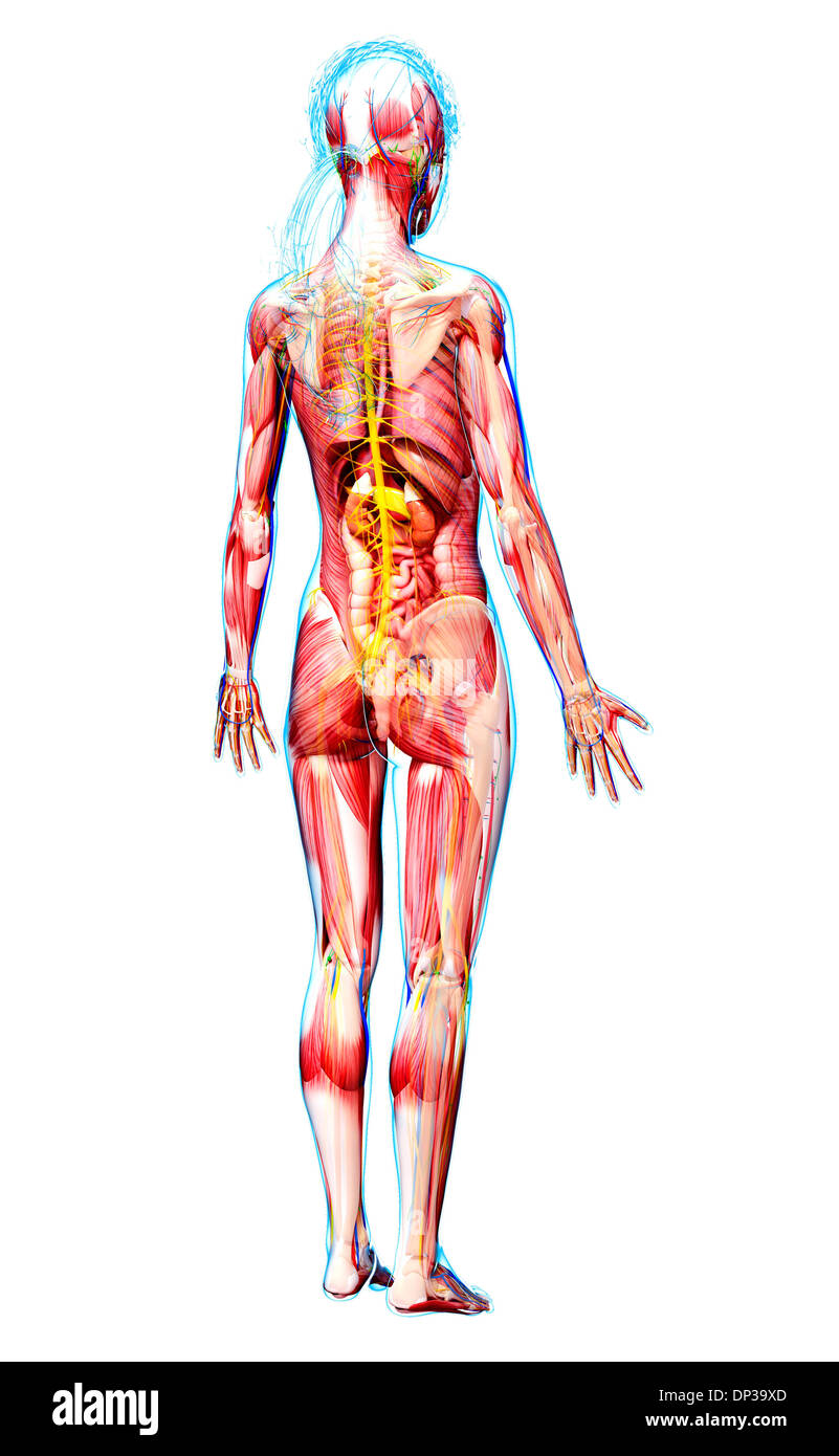 Blood Supply Of The Adrenal Gland Stockfotos & Blood Supply Of The ...
