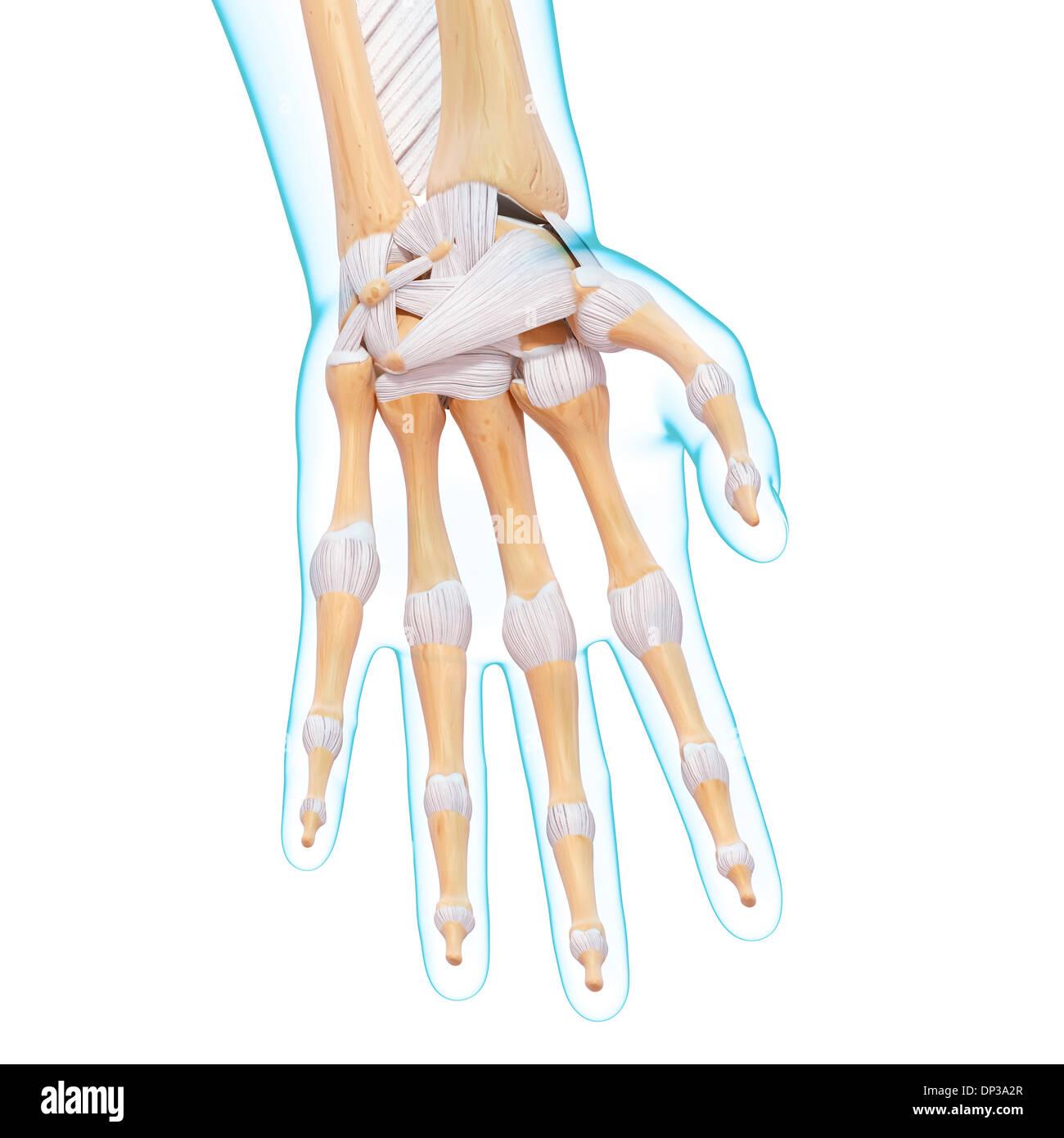 Ziemlich Hand Und Handgelenk Knochen Anatomie Ideen - Menschliche ...