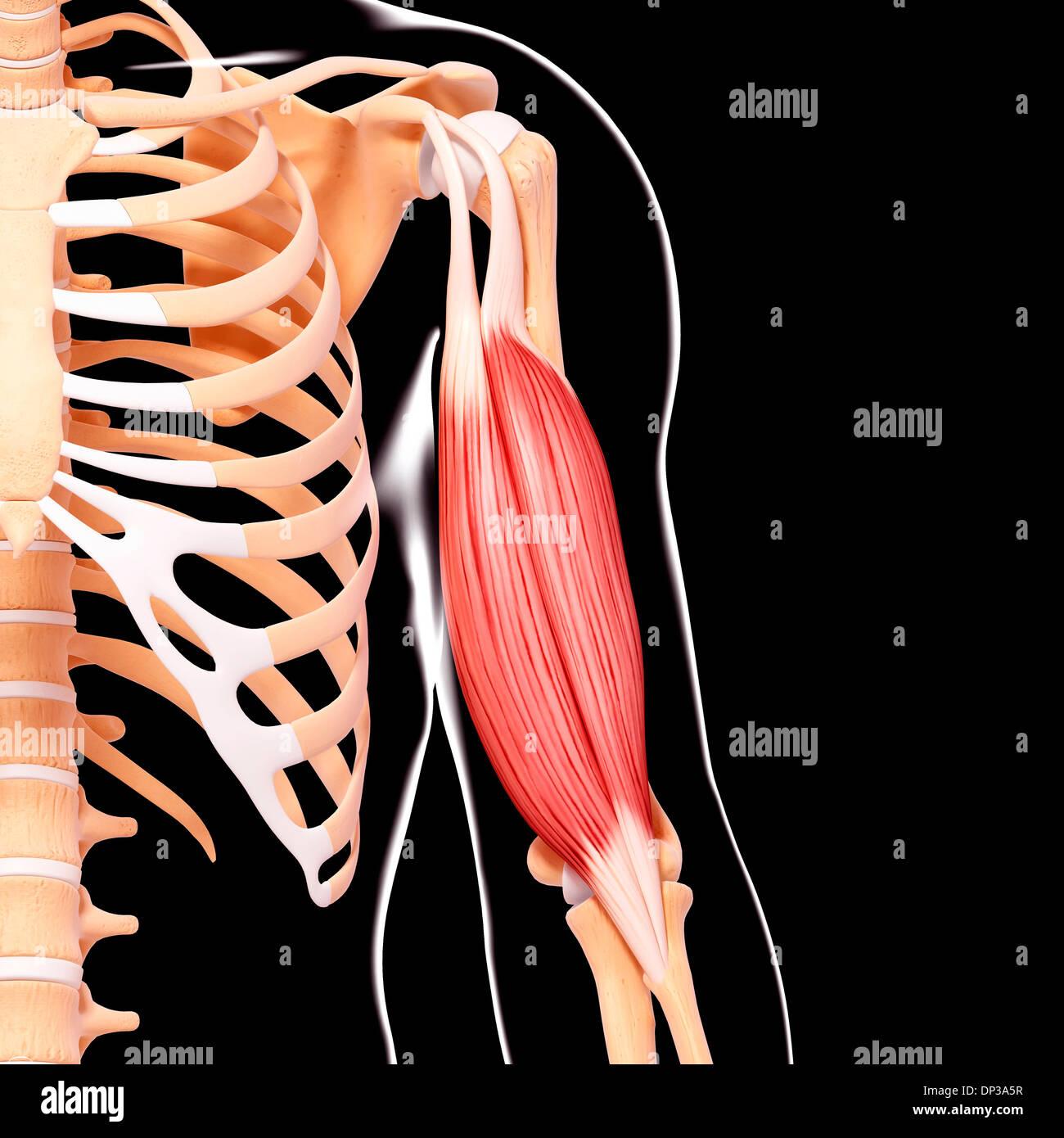 Menschlicher Arm Muskulatur, artwork Stockfoto, Bild: 65227395 - Alamy