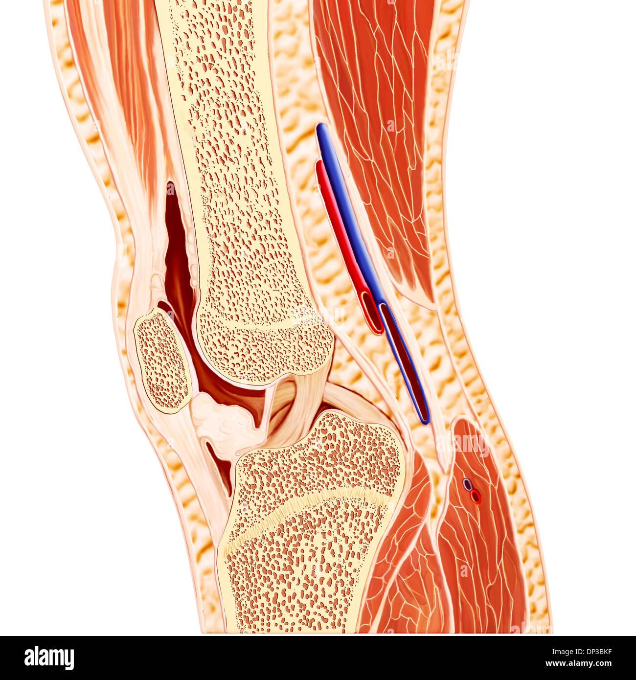 Anatomie der menschlichen Knie, artwork Stockfoto, Bild: 65228563 ...