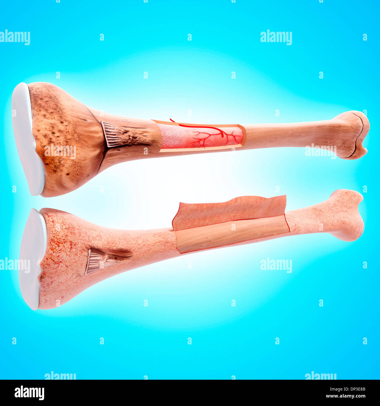 Menschlichen Oberschenkelknochen, artwork Stockfoto, Bild: 65230603 ...
