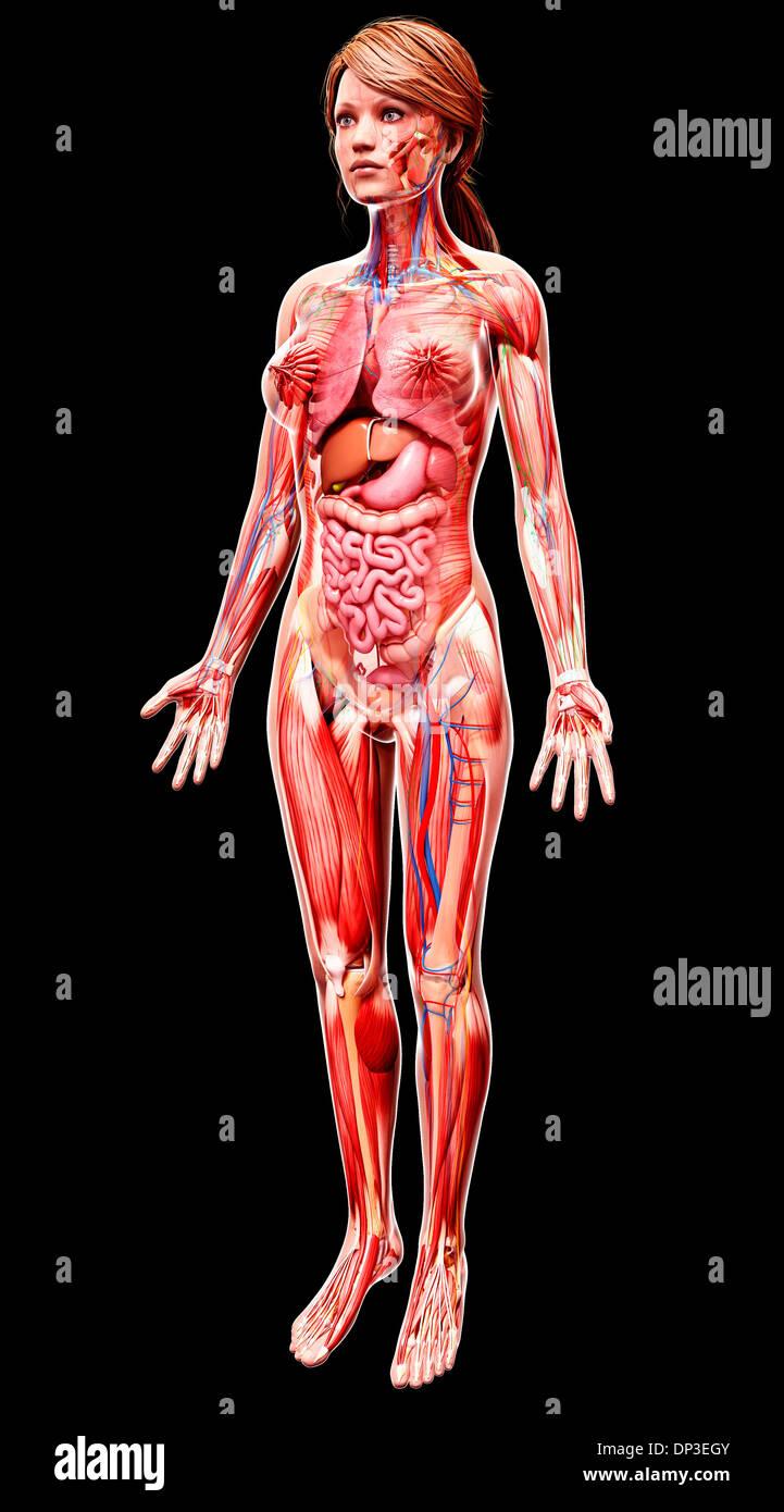 Weibliche Anatomie, artwork Stockfoto, Bild: 65230843 - Alamy