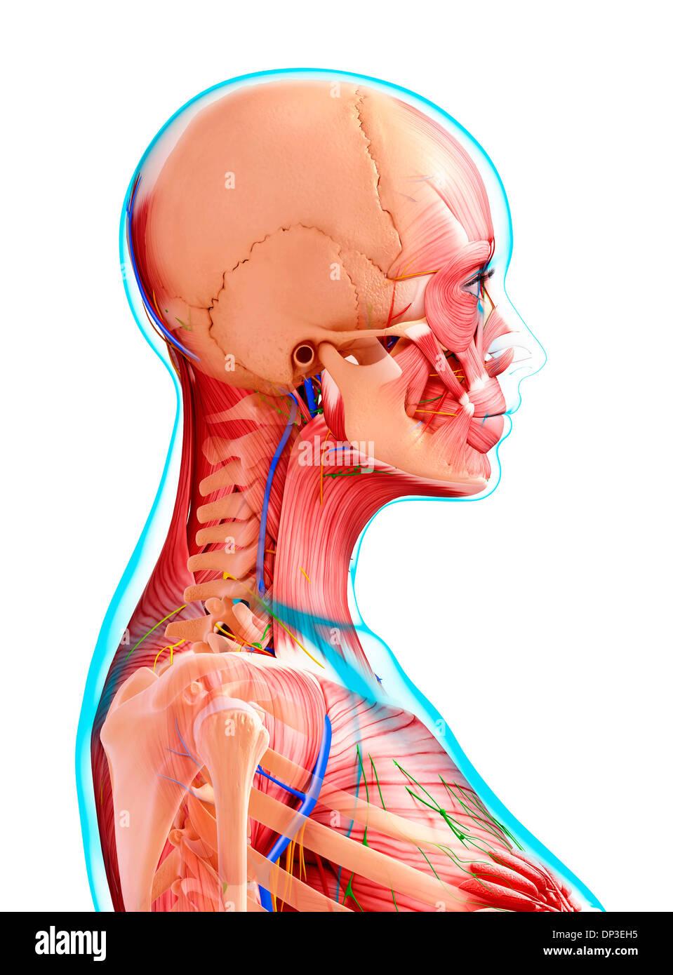 Großzügig Menschliche Weibliche Anatomie Organe Ideen - Menschliche ...