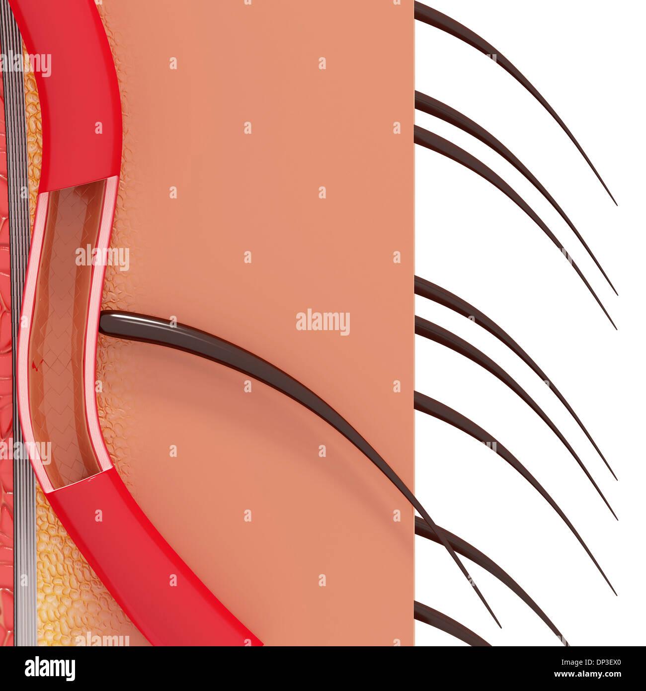 Anatomie der menschlichen Haut, artwork Stockfoto, Bild: 65231096 ...
