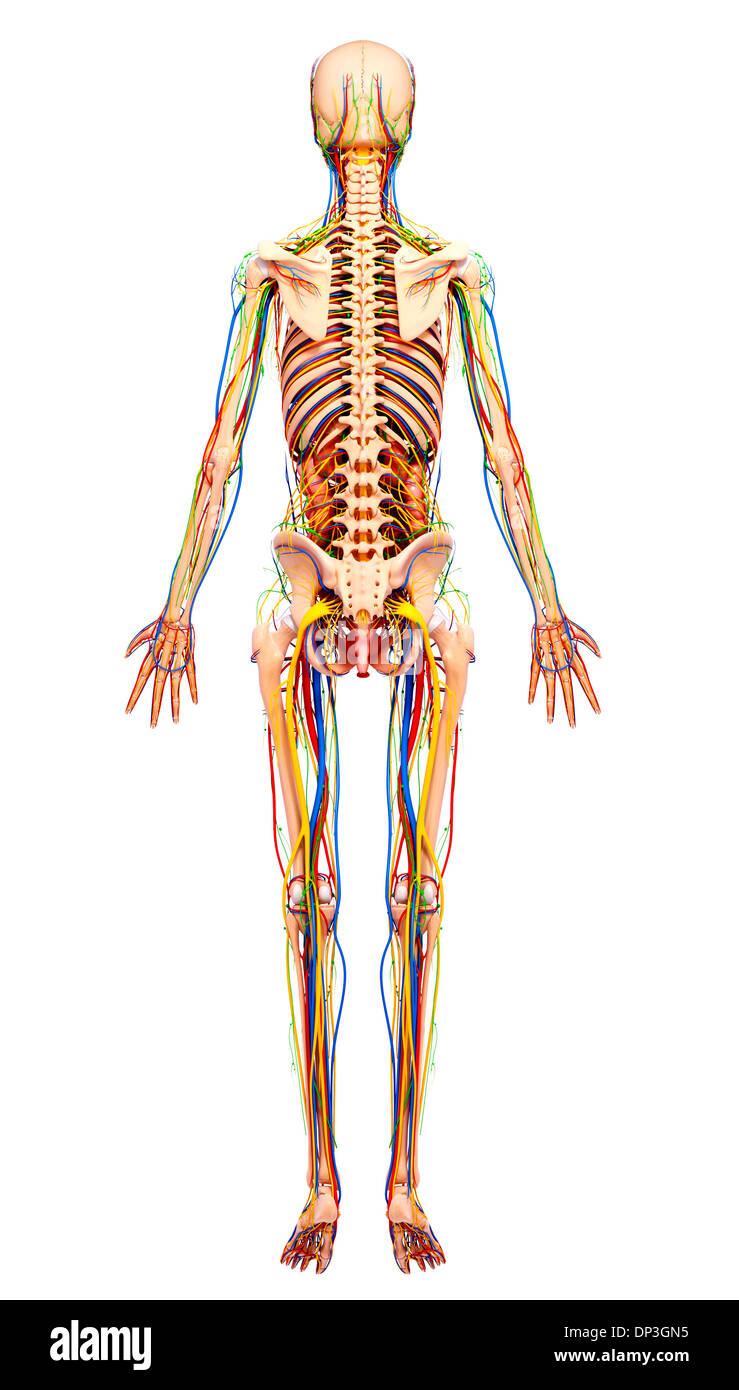 Fein Reale Abbildungen Der Weiblichen Anatomie Bilder - Anatomie ...